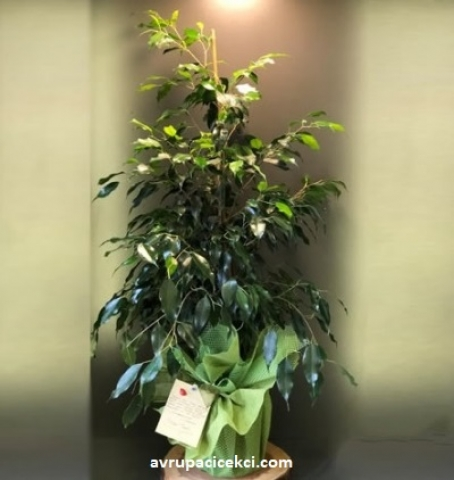 Benjamin Saksı Çiçeği