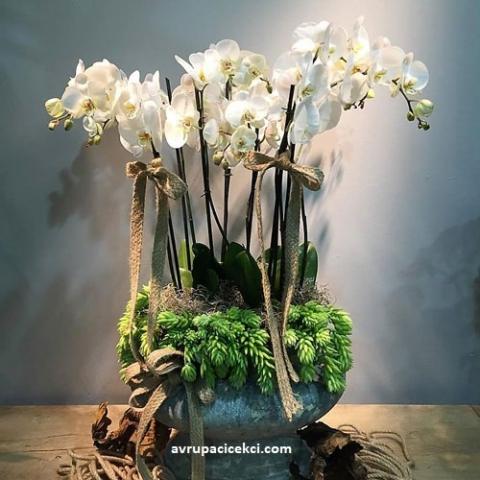 Orkide 33