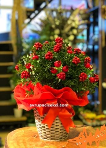 Yılbaşı Çiçeği 16