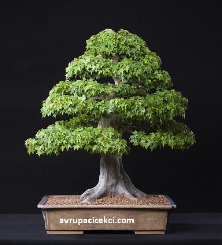 Ağaç Bonsai