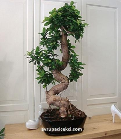 Ağaç Bonsai Büyük