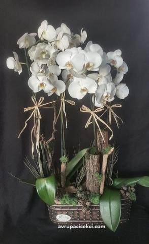 Orkide 16