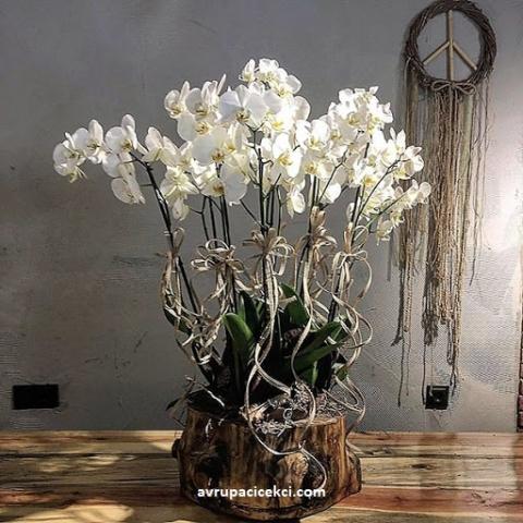 Orkide 32