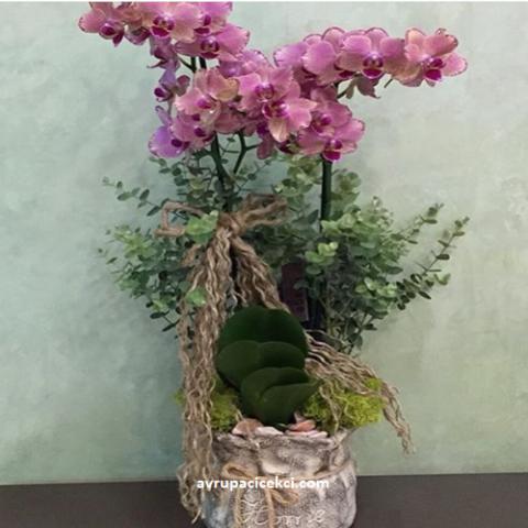 Orkide 31