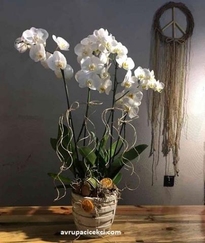Orkide 24
